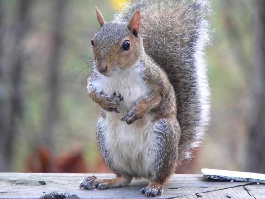 An Eastern gray squirrel, the state mammal of North Carolina, stands on his hind legs